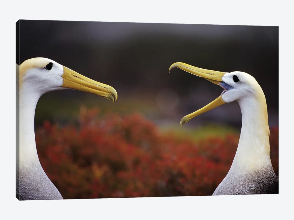 Waved Albatross Courtship Display Sequence, Punta Cevallos, Espanola Island, Galapagos Islands, Ecuador by Tui De Roy 1-piece Art Print