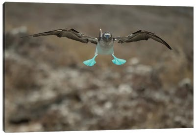 Blue-Footed Booby Flying, Punta Vicente Roca, Isabela Island, Galapagos Islands, Ecuador Canvas Art Print