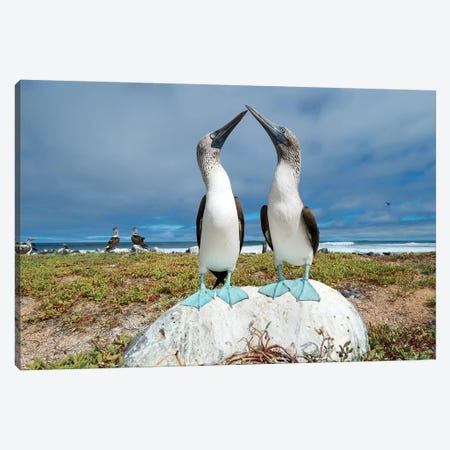 Blue-Footed Booby Pair Courting, Santa Cruz Island, Galapagos Islands, Ecuador Canvas Print #TUI67} by Tui De Roy Canvas Artwork