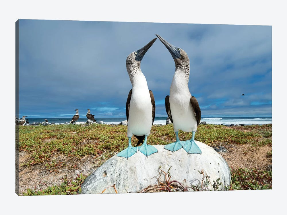 Blue-Footed Booby Pair Courting, Santa Cruz Island, Galapagos Islands, Ecuador by Tui De Roy 1-piece Canvas Print