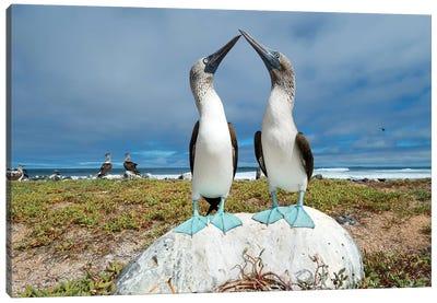 Blue-Footed Booby Pair Courting, Santa Cruz Island, Galapagos Islands, Ecuador Canvas Art Print