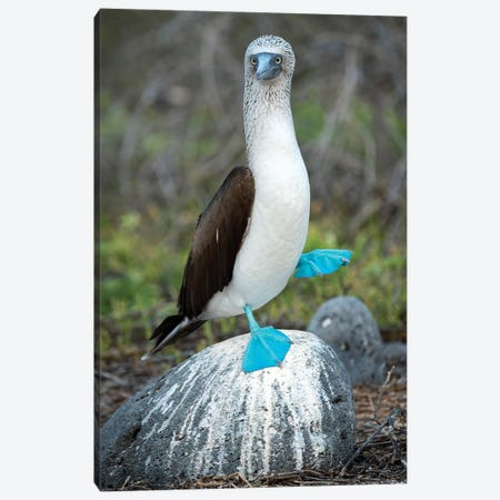 Blue-Footed Booby Performing Foot-Lifting Courtship Display, Seymour Island, Galapagos Islands, Ecuador Canvas Print #TUI68} by Tui De Roy Canvas Print