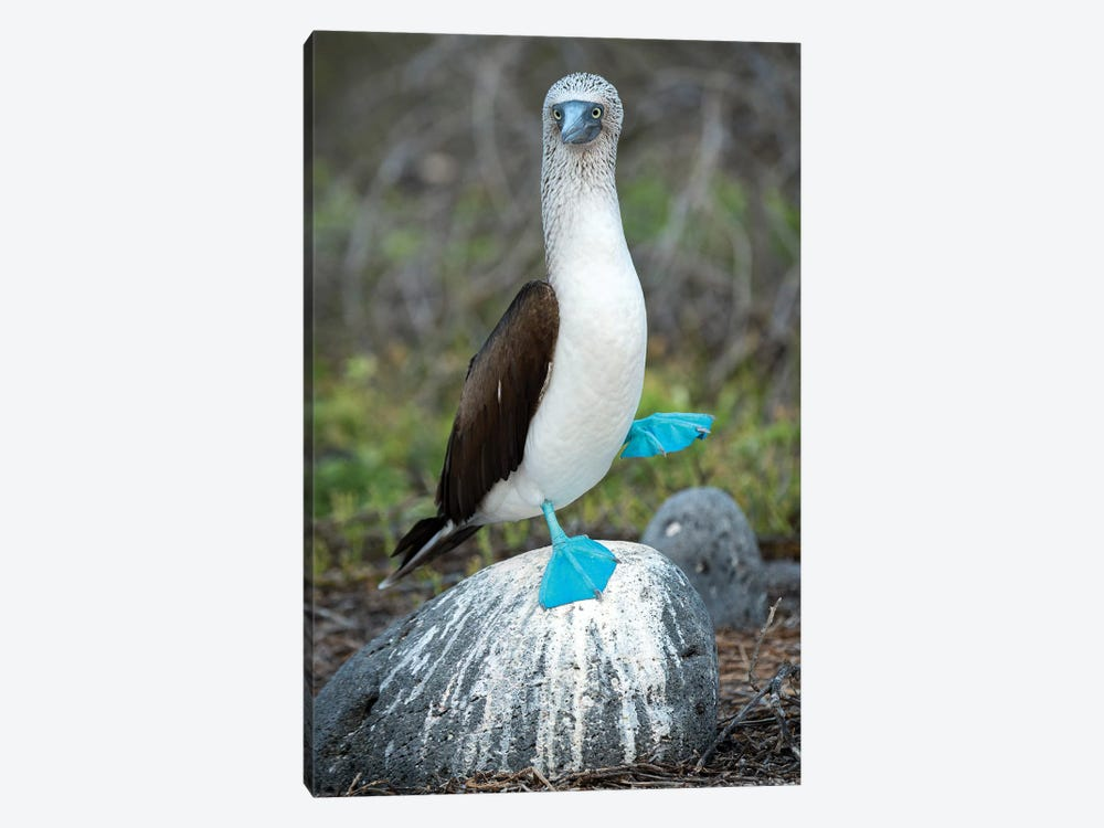Blue-Footed Booby Performing Foot-Lifting Courtship Display, Seymour Island, Galapagos Islands, Ecuador by Tui De Roy 1-piece Canvas Wall Art