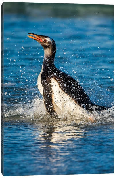 Gentoo Penguin Coming Ashore, Saunders Island, Falkland Islands Canvas Art Print