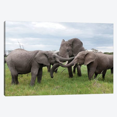 African Elephant Calves Playing, Ol Pejeta Conservancy, Kenya Canvas Print #TUI6} by Tui De Roy Canvas Art