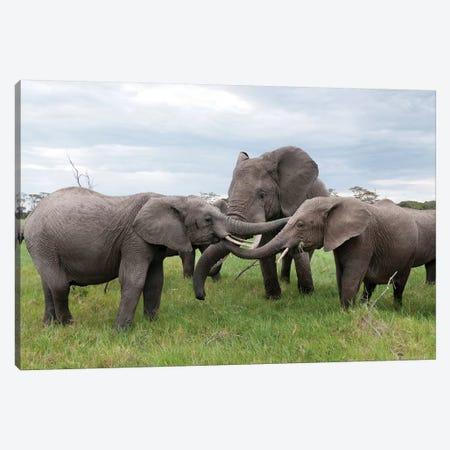 African Elephant Calves Playing, Ol Pejeta Conservancy, Kenya Canvas Print #TUI6} by Tui De Roy Canvas Art