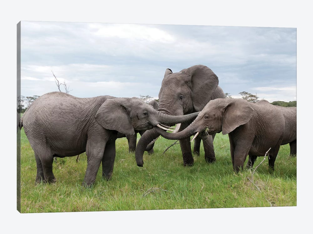 African Elephant Calves Playing, Ol Pejeta Conservancy, Kenya by Tui De Roy 1-piece Canvas Print