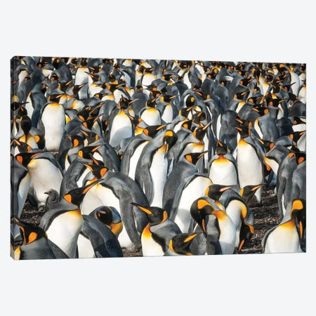 King Penguin Colony, Volunteer Beach, East Falkland Island, Falkland Islands Canvas Print #TUI70} by Tui De Roy Canvas Art
