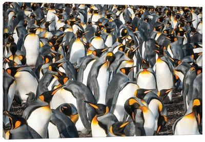 King Penguin Colony, Volunteer Beach, East Falkland Island, Falkland Islands Canvas Art Print