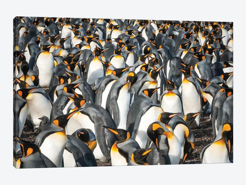 King Penguin Colony, Volunteer Beach, East Falkland Island, Falkland Islands by Tui De Roy 1-piece Art Print