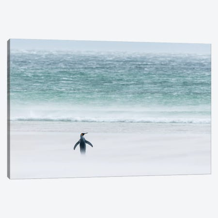 King Penguin On Windy Beach, Volunteer Beach, East Falkland Island, Falkland Islands Canvas Print #TUI71} by Tui De Roy Canvas Artwork