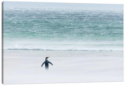 King Penguin On Windy Beach, Volunteer Beach, East Falkland Island, Falkland Islands Canvas Art Print