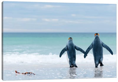King Penguin Pair Entering Sea, Volunteer Beach, East Falkland Island, Falkland Islands Canvas Art Print