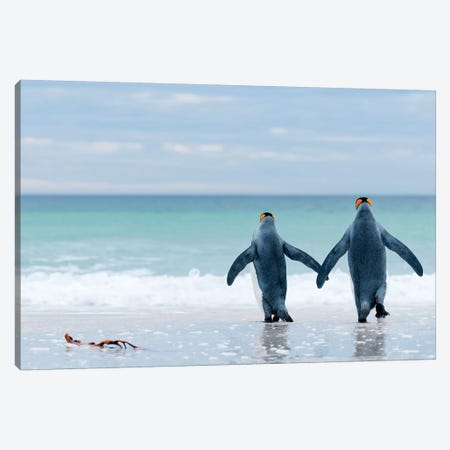 King Penguin Pair Entering Sea, Volunteer Beach, East Falkland Island, Falkland Islands Canvas Print #TUI72} by Tui De Roy Canvas Art