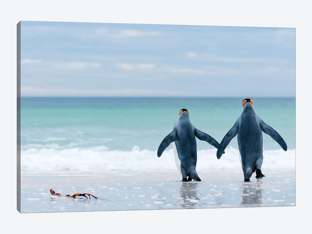 King Penguin Pair Entering Sea, Volunteer Beach, East Falkland Island, Falkland Islands by Tui De Roy 1-piece Art Print