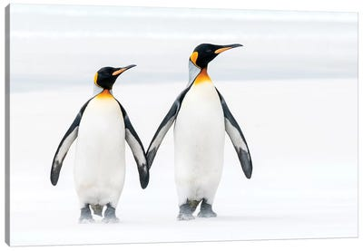 King Penguin Pair On Beach, Volunteer Beach, East Falkland Island, Falkland Islands Canvas Art Print