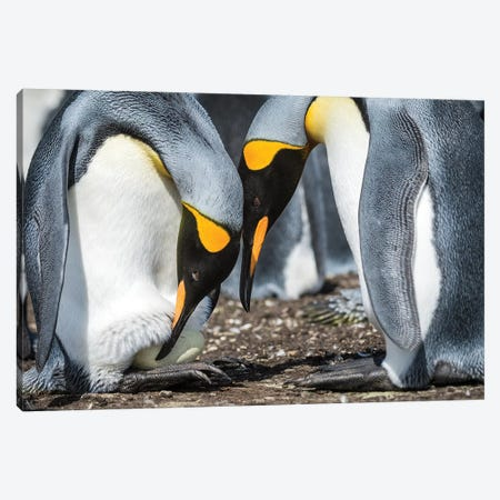 King Penguin Transferring Egg Onto Feet, Volunteer Beach, East Falkland Island Canvas Print #TUI74} by Tui De Roy Canvas Print