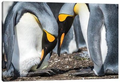 King Penguin Transferring Egg Onto Feet, Volunteer Beach, East Falkland Island Canvas Art Print