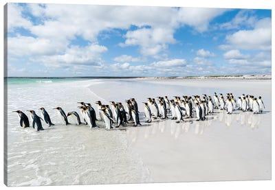 King Penguins Entering Sea, Volunteer Beach, East Falkland Island, Falkland Islands Canvas Art Print