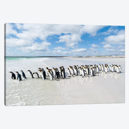 King Penguins Entering Sea, Volunteer Beach, East Falkland Island, Falkland Islands Canvas Print #TUI75} by Tui De Roy Canvas Print