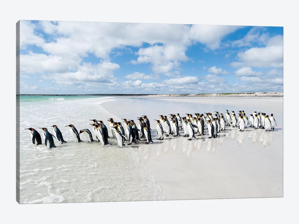 King Penguins Entering Sea, Volunteer Beach, East Falkland Island, Falkland Islands by Tui De Roy 1-piece Canvas Wall Art