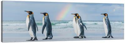 King Penguins On Beach Under Rainbow, Volunteer Beach, East Falkland Island, Falkland Islands II Canvas Art Print
