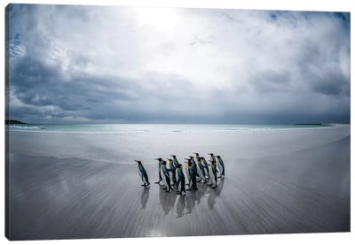 King Penguins On The Beach, Volunteer Beach, East Falkland Island, Falkland Islands I Canvas Art Print