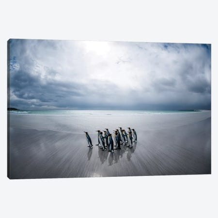 King Penguins On The Beach, Volunteer Beach, East Falkland Island, Falkland Islands I Canvas Print #TUI78} by Tui De Roy Canvas Art