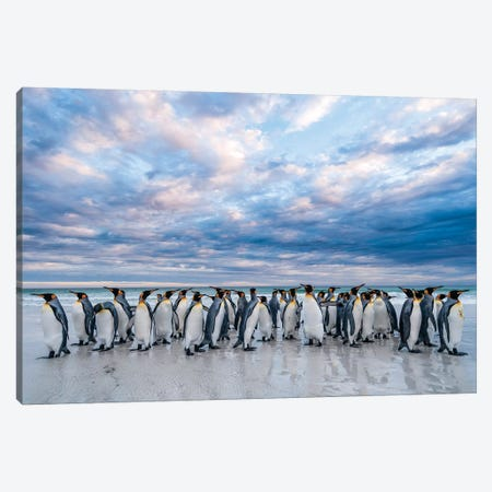 King Penguins On The Beach, Volunteer Beach, East Falkland Island, Falkland Islands II Canvas Print #TUI79} by Tui De Roy Canvas Art