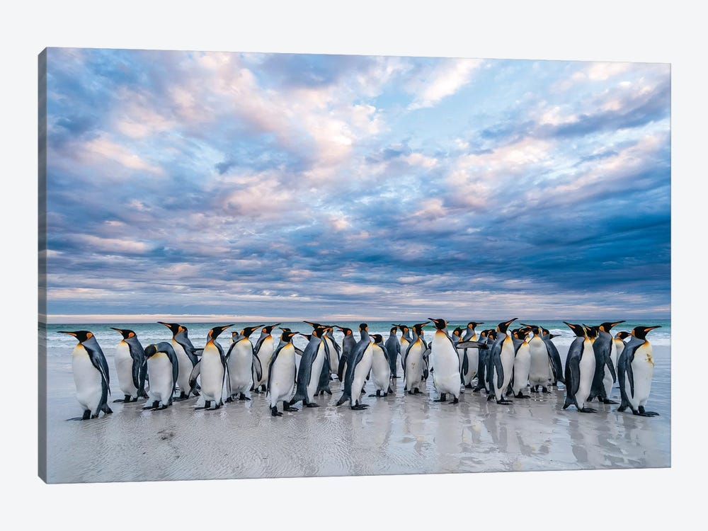 King Penguins On The Beach, Volunteer Beach, East Falkland Island, Falkland Islands II by Tui De Roy 1-piece Canvas Wall Art