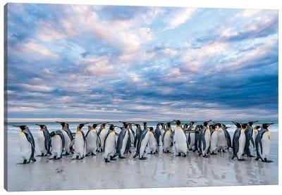 King Penguins On The Beach, Volunteer Beach, East Falkland Island, Falkland Islands II Canvas Art Print