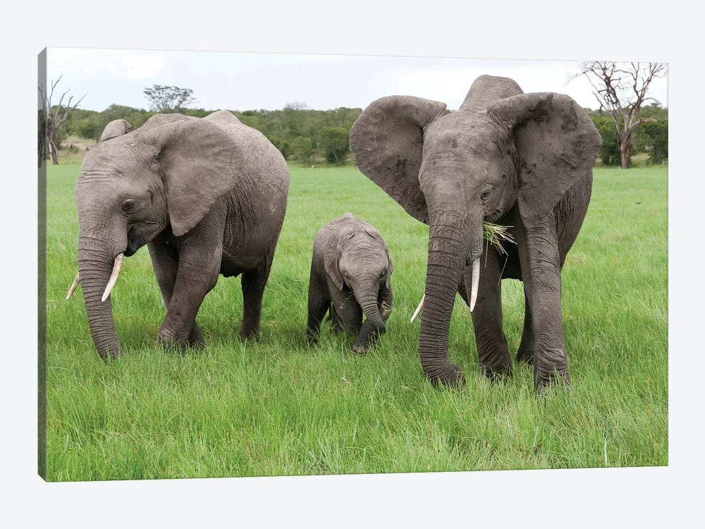 African Elephant Group Grazing, Ol Pejeta Conservancy, Kenya by Tui De Roy 1-piece Canvas Artwork