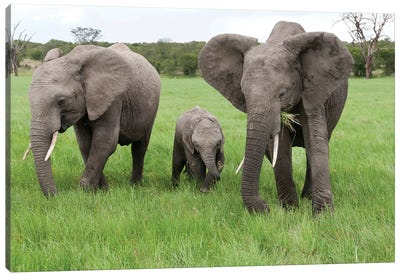 African Elephant Group Grazing, Ol Pejeta Conservancy, Kenya Canvas Art Print