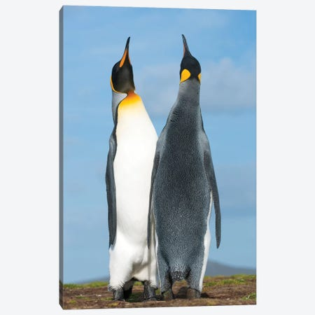 King Penguins Sky Pointing In Courtship Display, Volunteer Beach, East Falkland Island, Falkland Islands Canvas Print #TUI80} by Tui De Roy Canvas Art Print