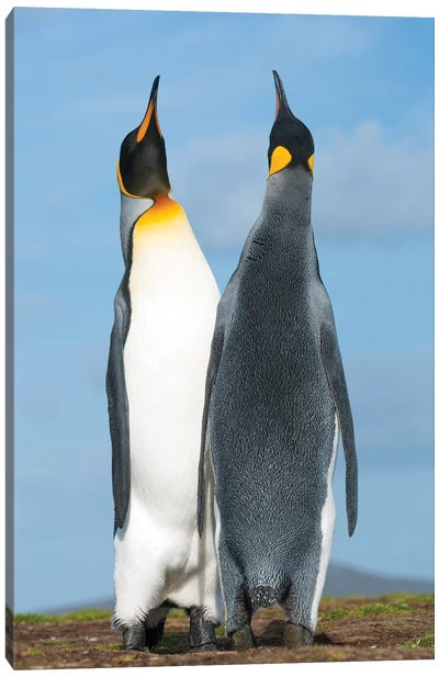 King Penguins Sky Pointing In Courtship Display, Volunteer Beach, East Falkland Island, Falkland Islands Canvas Art Print
