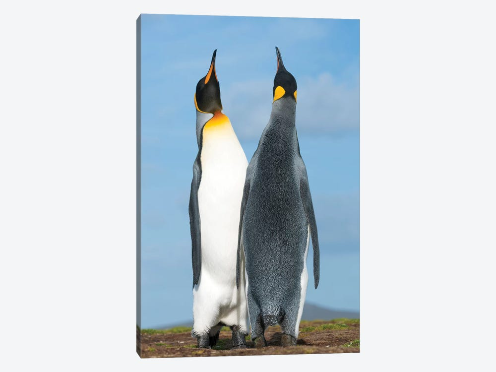 King Penguins Sky Pointing In Courtship Display, Volunteer Beach, East Falkland Island, Falkland Islands 1-piece Canvas Artwork