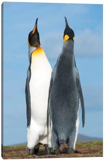 King Penguins Sky Pointing In Courtship Display, Volunteer Beach, East Falkland Island, Falkland Islands Canvas Art Print