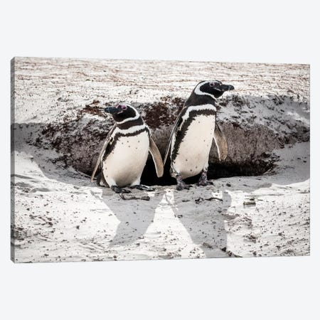 Magellanic Penguins At Burrow, Volunteer Beach, East Falkland Island Canvas Print #TUI81} by Tui De Roy Canvas Art Print