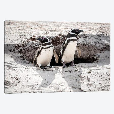 Magellanic Penguins At Burrow, Volunteer Beach, East Falkland Island Canvas Print #TUI81} by Tui De Roy Canvas Art Print