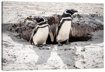 Magellanic Penguins At Burrow, Volunteer Beach, East Falkland Island Canvas Art Print