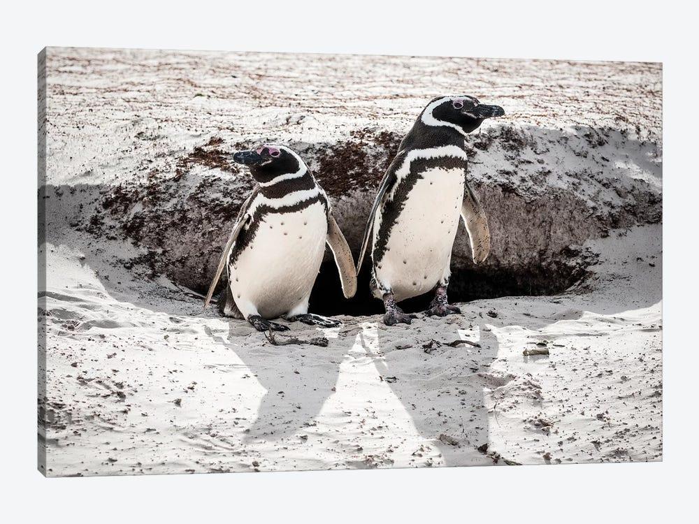 Magellanic Penguins At Burrow, Volunteer Beach, East Falkland Island by Tui De Roy 1-piece Art Print