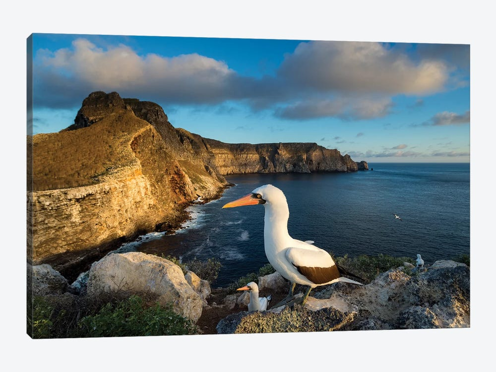 Nazca Booby Group On Coast, Wolf Island, Galapagos Islands, Ecuador by Tui De Roy 1-piece Canvas Wall Art