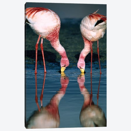 Puna Flamingo Rare Pair Feeding In Laguna Colorada, Andean Altiplano Above 4,000 Meters Elevation, Bolivia Canvas Print #TUI84} by Tui De Roy Canvas Wall Art