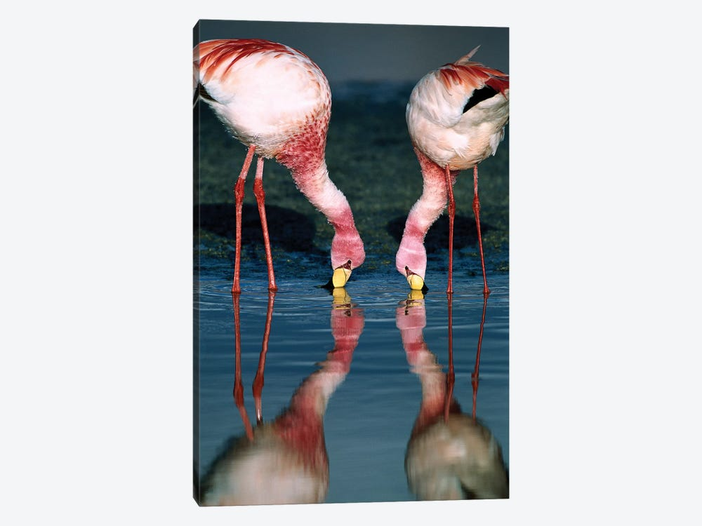 Puna Flamingo Rare Pair Feeding In Laguna Colorada, Andean Altiplano Above 4,000 Meters Elevation, Bolivia by Tui De Roy 1-piece Canvas Wall Art