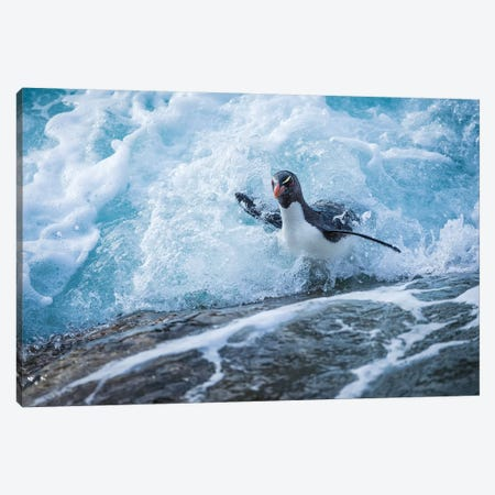 Rockhopper Penguin Coming Ashore, West Point Island, Falkland Islands Canvas Print #TUI85} by Tui De Roy Canvas Art