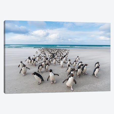 Rockhopper Penguins On The Beach, Saunders Island, Falkland Islands Canvas Print #TUI87} by Tui De Roy Canvas Art