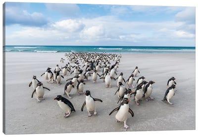 Rockhopper Penguins On The Beach, Saunders Island, Falkland Islands Canvas Art Print