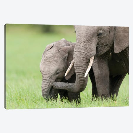 African Elephant Juvenile And Calf, Ol Pejeta Conservancy, Kenya I Canvas Print #TUI8} by Tui De Roy Art Print