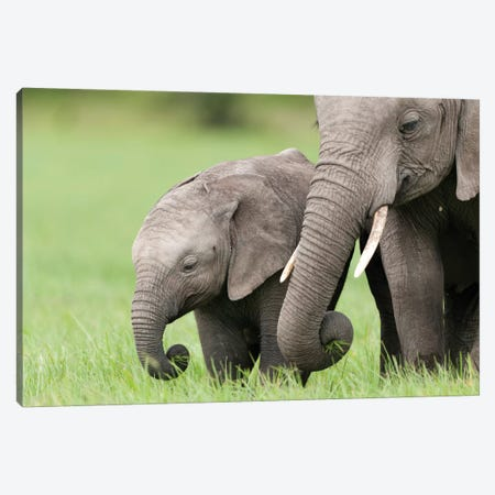 African Elephant Juvenile And Calf, Ol Pejeta Conservancy, Kenya II Canvas Print #TUI9} by Tui De Roy Canvas Art Print