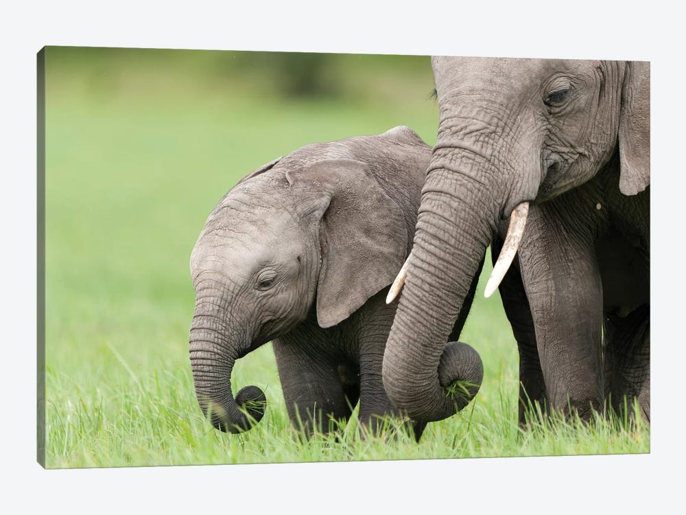 African Elephant Juvenile And Calf, Ol Pejeta Conservancy, Kenya II by Tui De Roy 1-piece Canvas Artwork